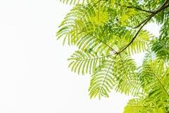 Folhas do verde em um fundo branco Imagens de Stock