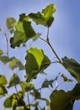 Folhas do verde em uma árvore de pera Fotografia de Stock