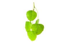 Folhas do verde (a folha de Pho, BO folheia, folha do bothi) isoladas na parte traseira do branco Imagem de Stock