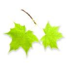 Folhas do verde isoladas Fotografia de Stock Royalty Free
