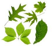 Folhas do verde isoladas Fotos de Stock