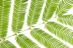 Folhas do verde isoladas no fundo branco Fotografia de Stock Royalty Free