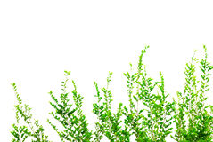 Folhas do verde isoladas no fundo branco Fotos de Stock Royalty Free