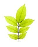 Folhas do verde isoladas no fundo branco Fotos de Stock