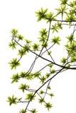 Folhas do verde isoladas no fundo branco Imagem de Stock Royalty Free