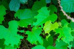 Folhas do verde mascadas sobre por lagartas fotos de stock royalty free