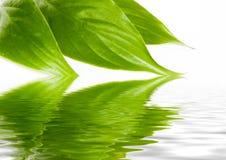 Folhas do verde na água Fotos de Stock Royalty Free