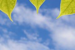 Folhas do verde na luz do sol de encontro ao céu Imagens de Stock Royalty Free