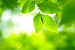 Folhas do verde na luz macia Fotos de Stock Royalty Free