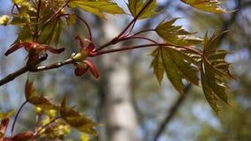 Folhas do verde na mola Árvore de bordo verde nova bonita que balança no vento vídeos de arquivo
