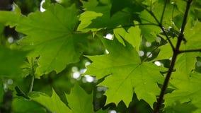 Folhas do verde na mola Árvore de bordo verde nova bonita que balança no vento filme