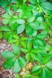 Folhas do verde na terra imagem de stock royalty free