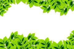 Folhas do verde no fundo branco Imagens de Stock