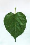 Folhas do verde no fundo branco Fotos de Stock