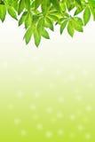 Folhas do verde no fundo branco Fotografia de Stock Royalty Free