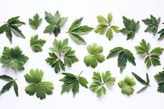 Folhas do verde no fundo branco Foto de Stock Royalty Free