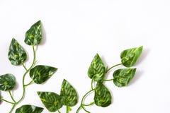 Folhas do verde no fundo branco Conceito tropical Fotografia de Stock Royalty Free
