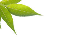 Folhas do verde no fundo isolado branco Fotos de Stock