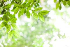 Folhas do verde no fundo verde da luz do sol do bokeh Imagem de Stock Royalty Free