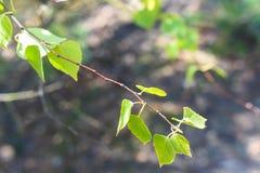 Folhas do verde no ramo imagem de stock royalty free