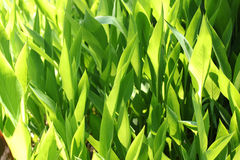 Folhas do verde nos sunlights Imagem de Stock Royalty Free