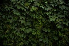 folhas do verde O verde deixa a textura da parede Fundo do verão imagens de stock royalty free