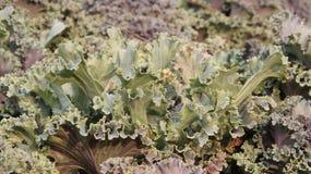 folhas do verde Ornamentel cortou a couve foto de stock royalty free