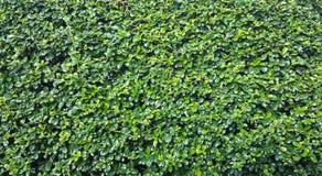 Folhas do verde para o fundo natural Imagens de Stock