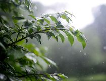 Folhas do verde que crescem nas horas de verão durante a chuva Fotos de Stock Royalty Free