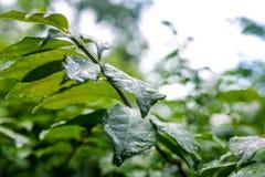 Folhas do verde que crescem nas horas de verão durante a chuva Imagens de Stock