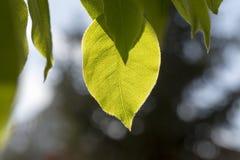 Folhas do verde sob o sol da mola dos raios foto de stock