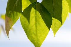 Folhas do verde sob o sol da mola dos raios imagens de stock