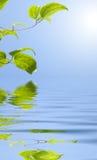 Folhas do verde sobre a água Fotografia de Stock Royalty Free