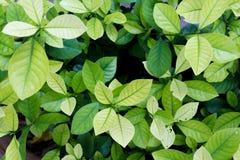 Folhas do verde - textura Fotografia de Stock
