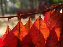 Folhas do vermelho Imagem de Stock Royalty Free