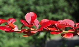 Folhas do vermelho fotografia de stock