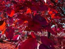 Folhas do vermelho Foto de Stock Royalty Free