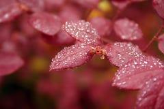 Folhas do vermelho com gotas de água Foto de Stock Royalty Free