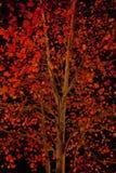 Folhas do vermelho contra o céu noturno Imagem de Stock Royalty Free