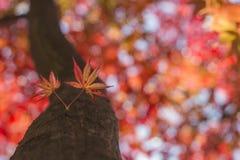Folhas do vermelho de Coreia Imagem de Stock Royalty Free