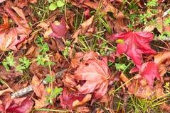 Folhas do vermelho do Liquidambar Fotos de Stock Royalty Free