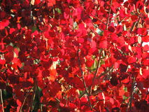 Folhas do vermelho do outono e ramos, estações: outono Imagem de Stock
