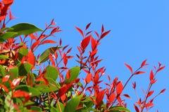 Folhas do vermelho e do verde imagens de stock royalty free