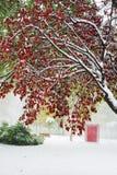 Folhas do vermelho e do verde na neve Fotos de Stock