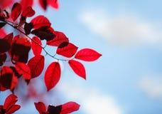 Folhas do vermelho em um céu azul saturado Folha cor-de-rosa ensolarada em um ramo de árvore em um parque Folhas frescas em um fu fotografia de stock royalty free