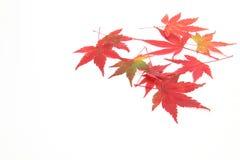 Folhas do vermelho em um fundo branco Imagens de Stock