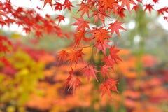 Folhas do vermelho em uma árvore de bordo Foto de Stock