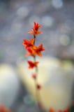 Folhas do vermelho em uma refeição matinal do arbusto Fotografia de Stock