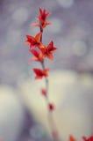 Folhas do vermelho em uma refeição matinal do arbusto Imagem de Stock