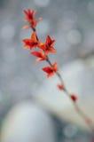 Folhas do vermelho em uma refeição matinal do arbusto Imagens de Stock Royalty Free